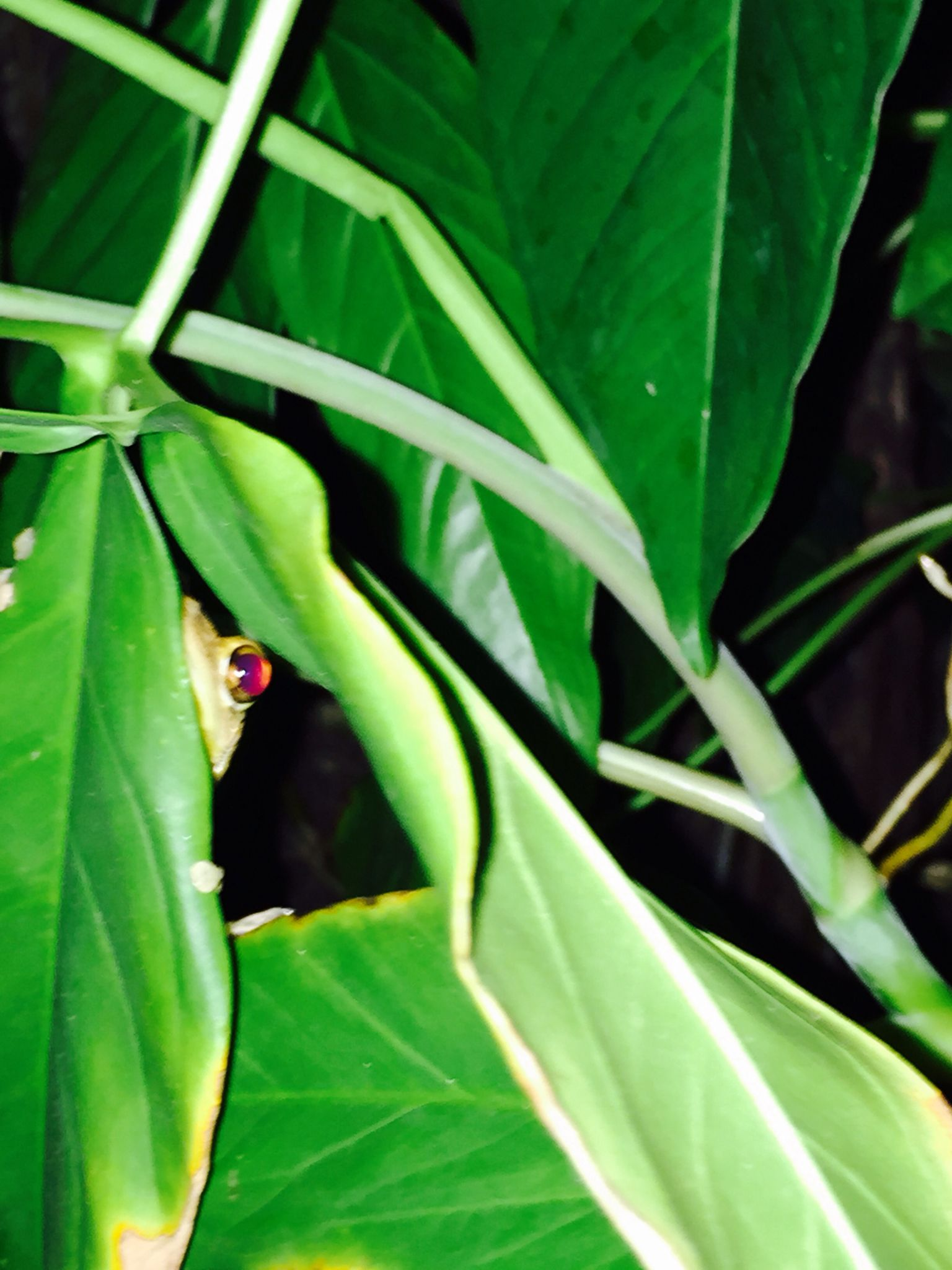 EYE see you...Tree Frog