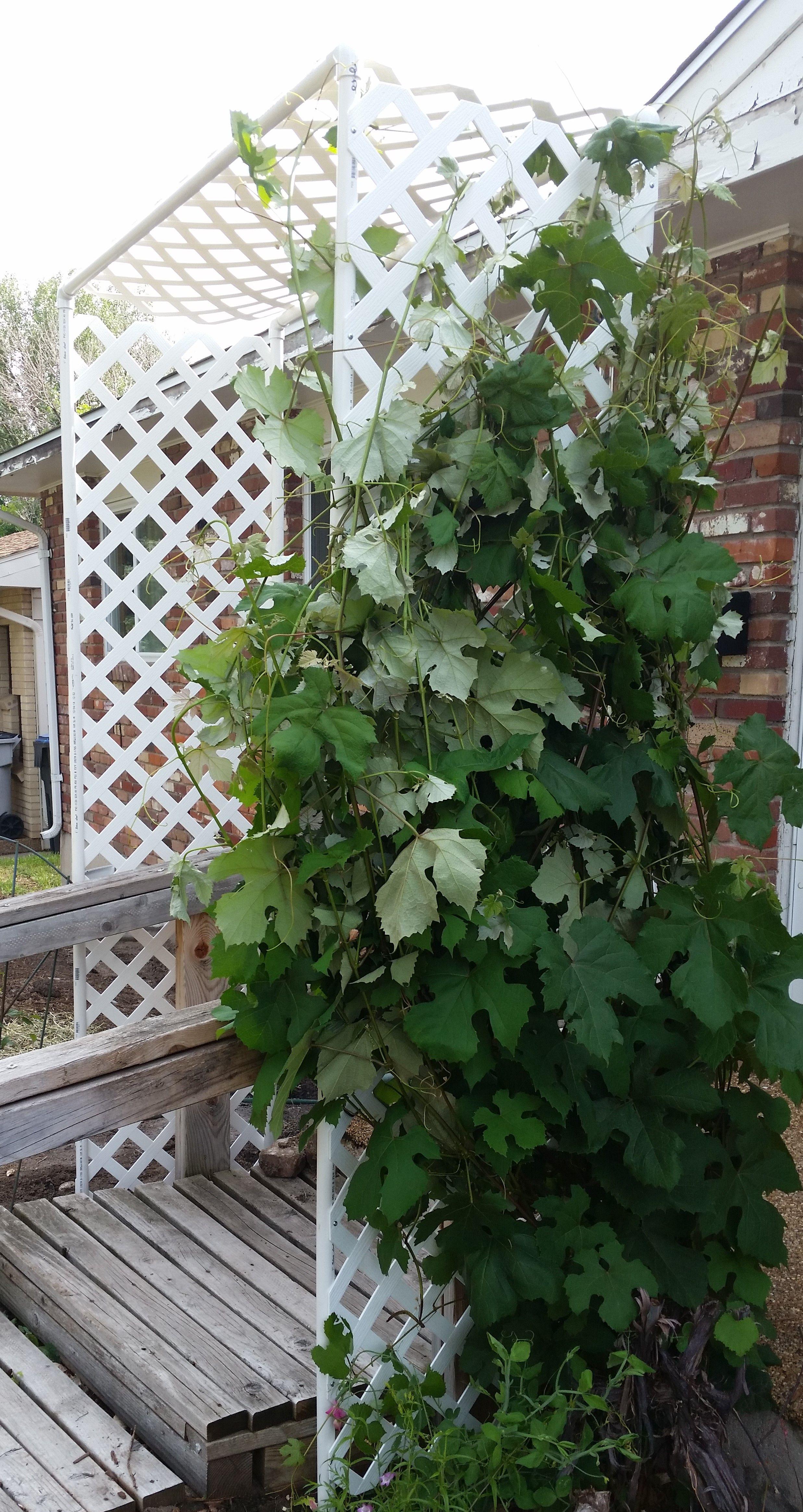 DIY grape arbor made of PVC pipe and vinyl lattice. Was a Sunday ...