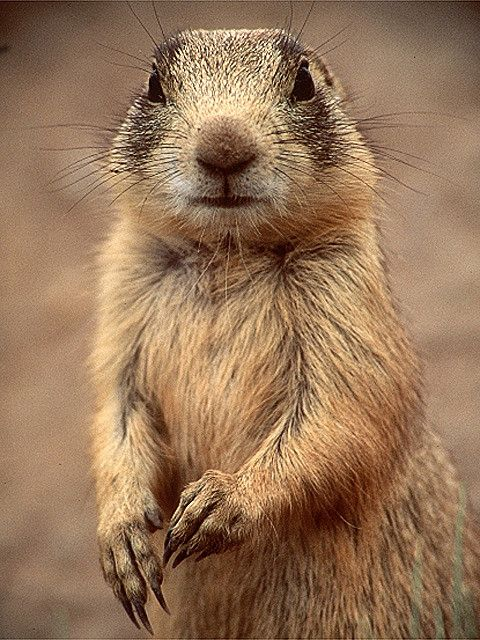 Up-close and personal with a prairie dog   Let's Go Wild ...