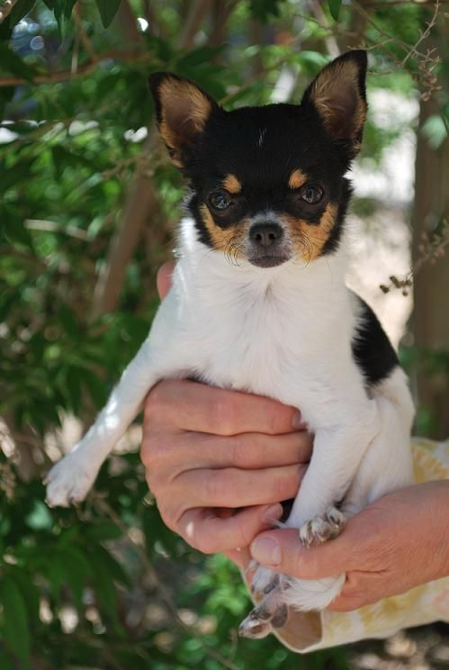 Jewel X Will Zuzu All Grown Up Black And Tan And White