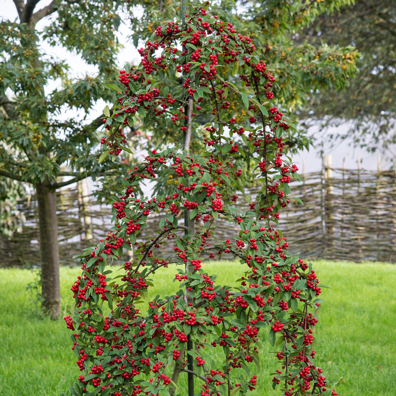 cotoneaster hybridus pendulus dobbies garden centres
