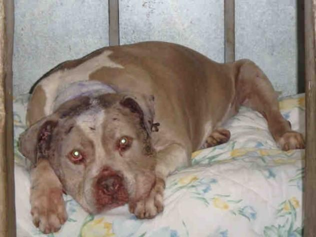 Tyson Urgent City Of Los Angeles South La Animal Shelter In Los Angeles Ca Senior Neutered Male Staffordshire Bull Terrier Animal Shelter