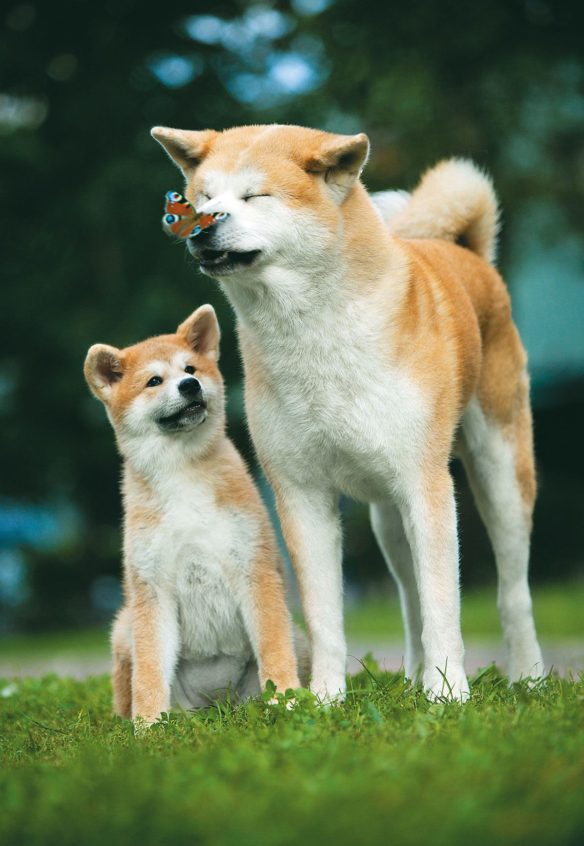 Картинки с собакой акита ину