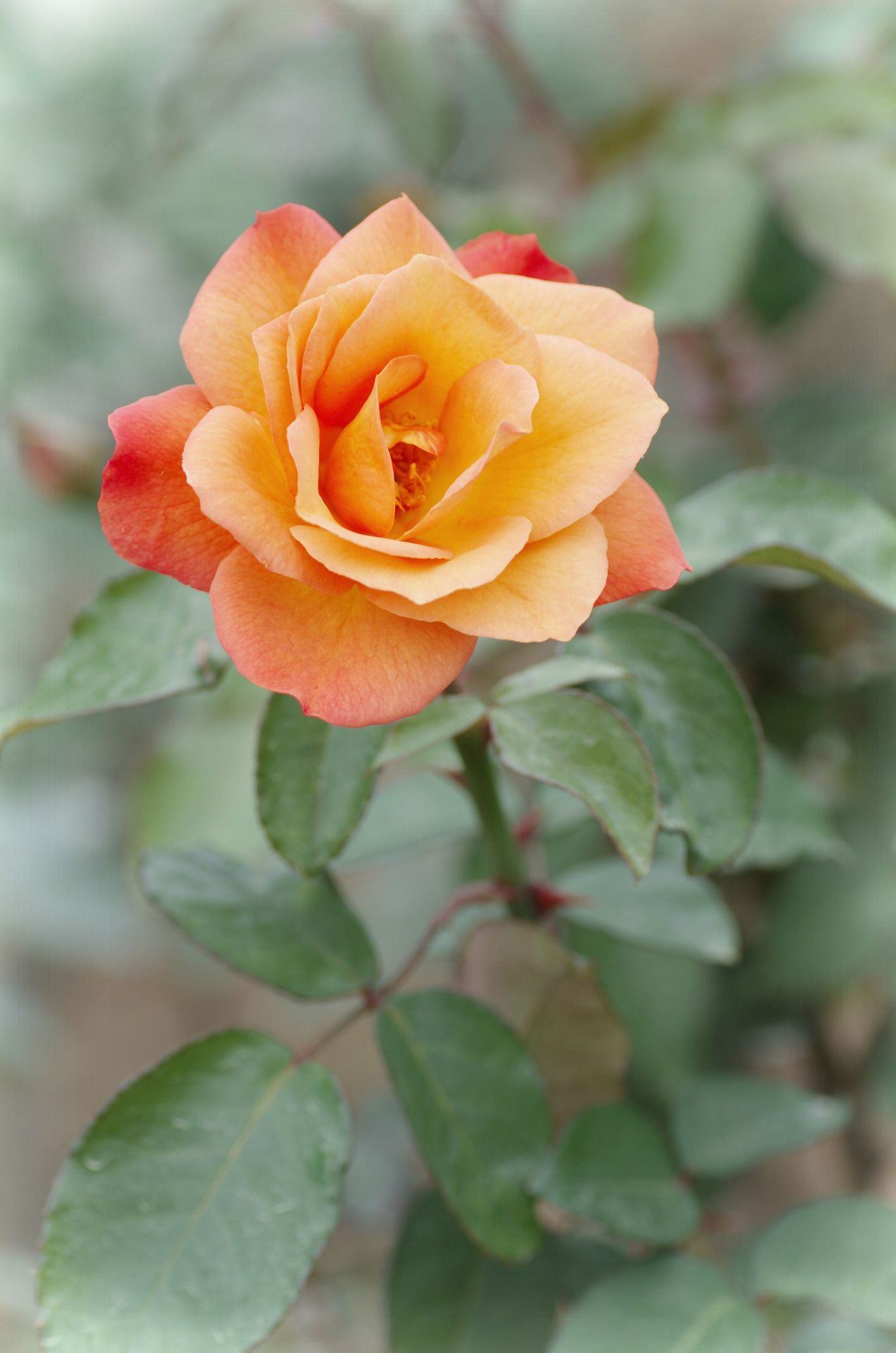 Flower Tumblr Art Pinterest Rose Flowers And Beautiful Flowers
