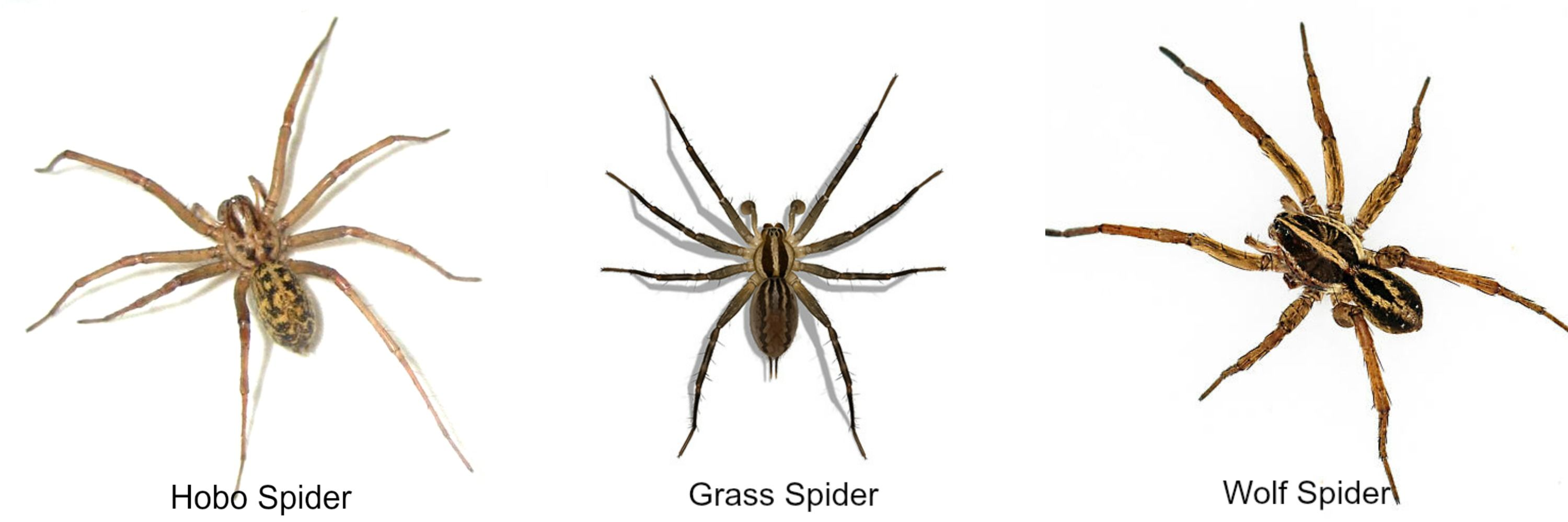 Wolf Spider Vs Grass Spider Vs Hobo Spider Insects Pests