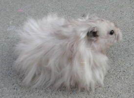 Long Haired Syrians Bear Hamster Syrian Hamster Long Hair Styles