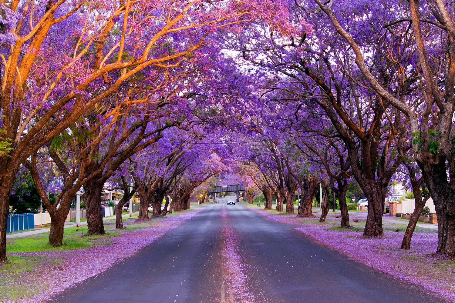 Best places to see australias jacaranda trees this spring
