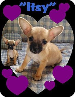 Pictures Of Itsy A Chihuahua Mix For Adoption In House Springs Mo