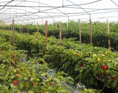 Italy: Picchi Farm a European leader in hydroponic Habanero pepper production... http://www.freshplaza.com/news_detail.asp?id=100374