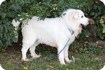 12 21 15 Andover Ct Great Pyrenees Mix Meet Frosty A Dog For
