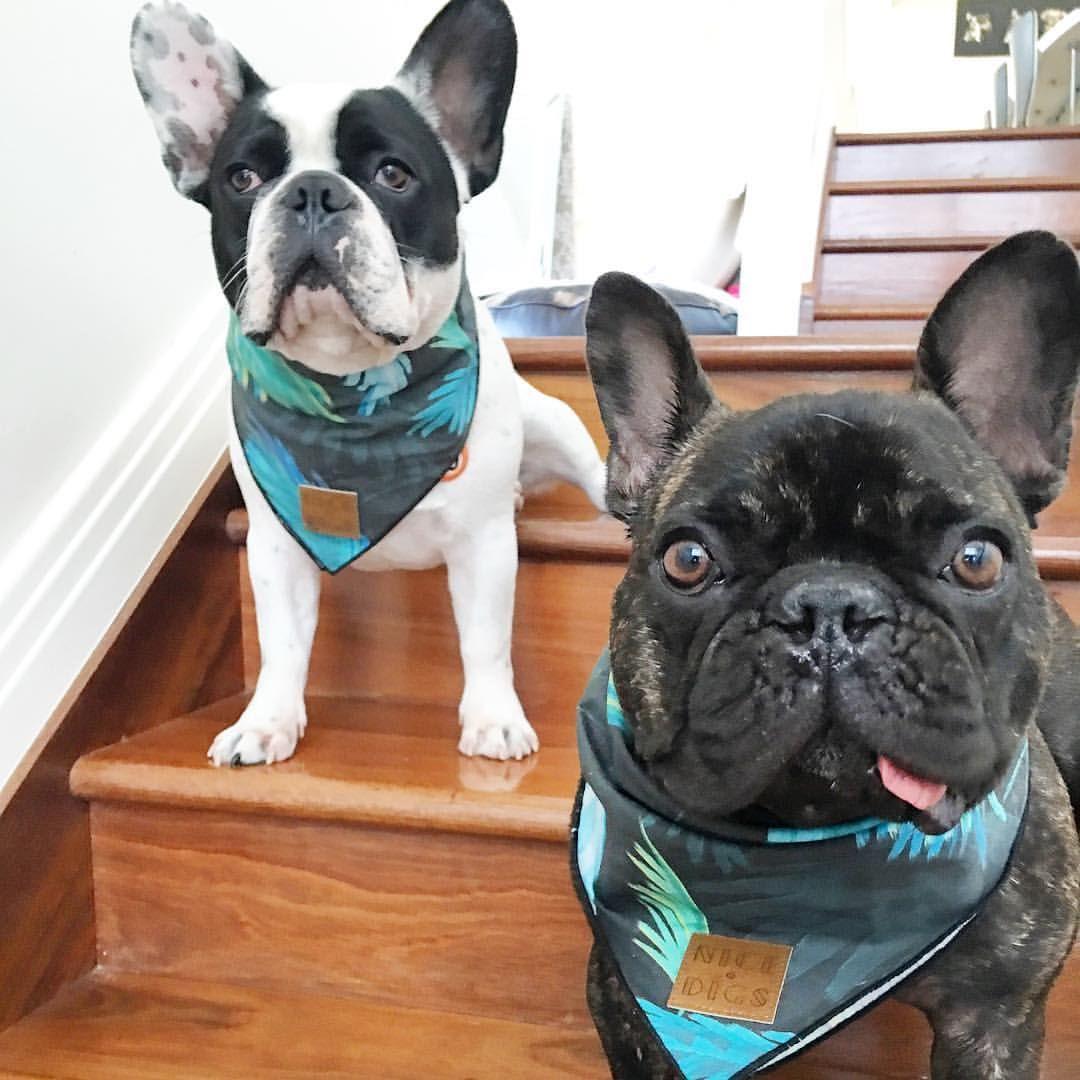 Instagram Photo By 2 Frenchies 1 Peke Brisbane Jun 11 2016 At 9 48pm Utc Bulldog Rescue French Bulldog Bulldog