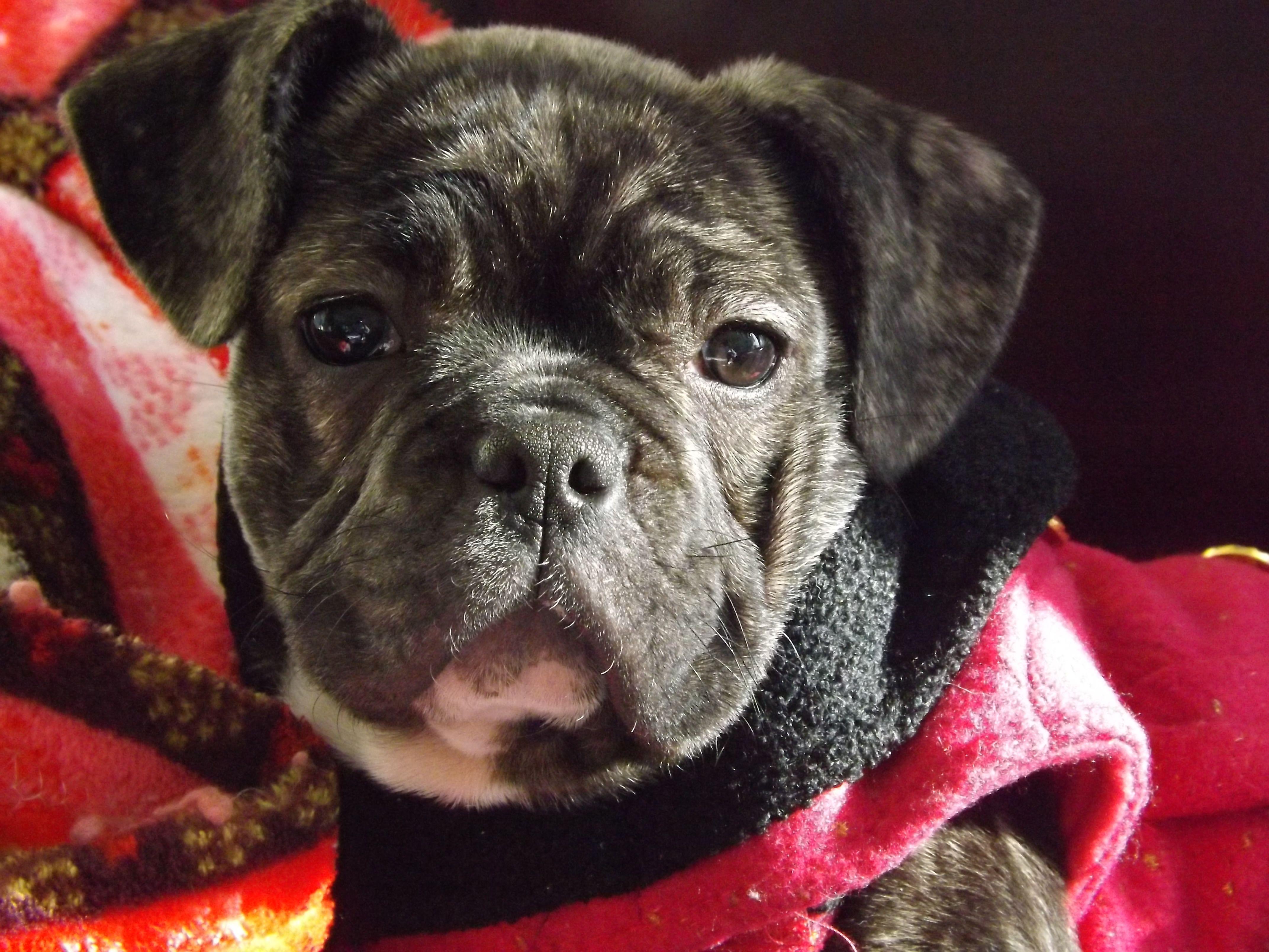 Clara The Frug Christmas Dog French Bulldog Bulldog