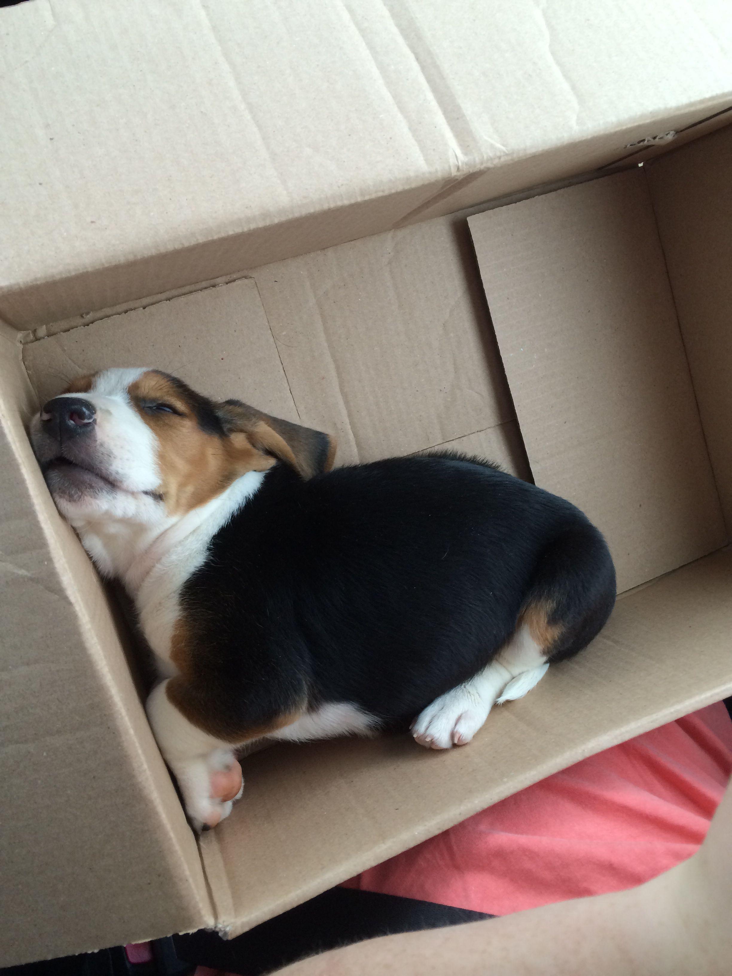 Everyone needs a beagle in a box ❤️