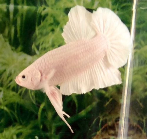 Pin By Pamela Stilwell On Betta Bliss Live Fish For Sale Betta Live Fish