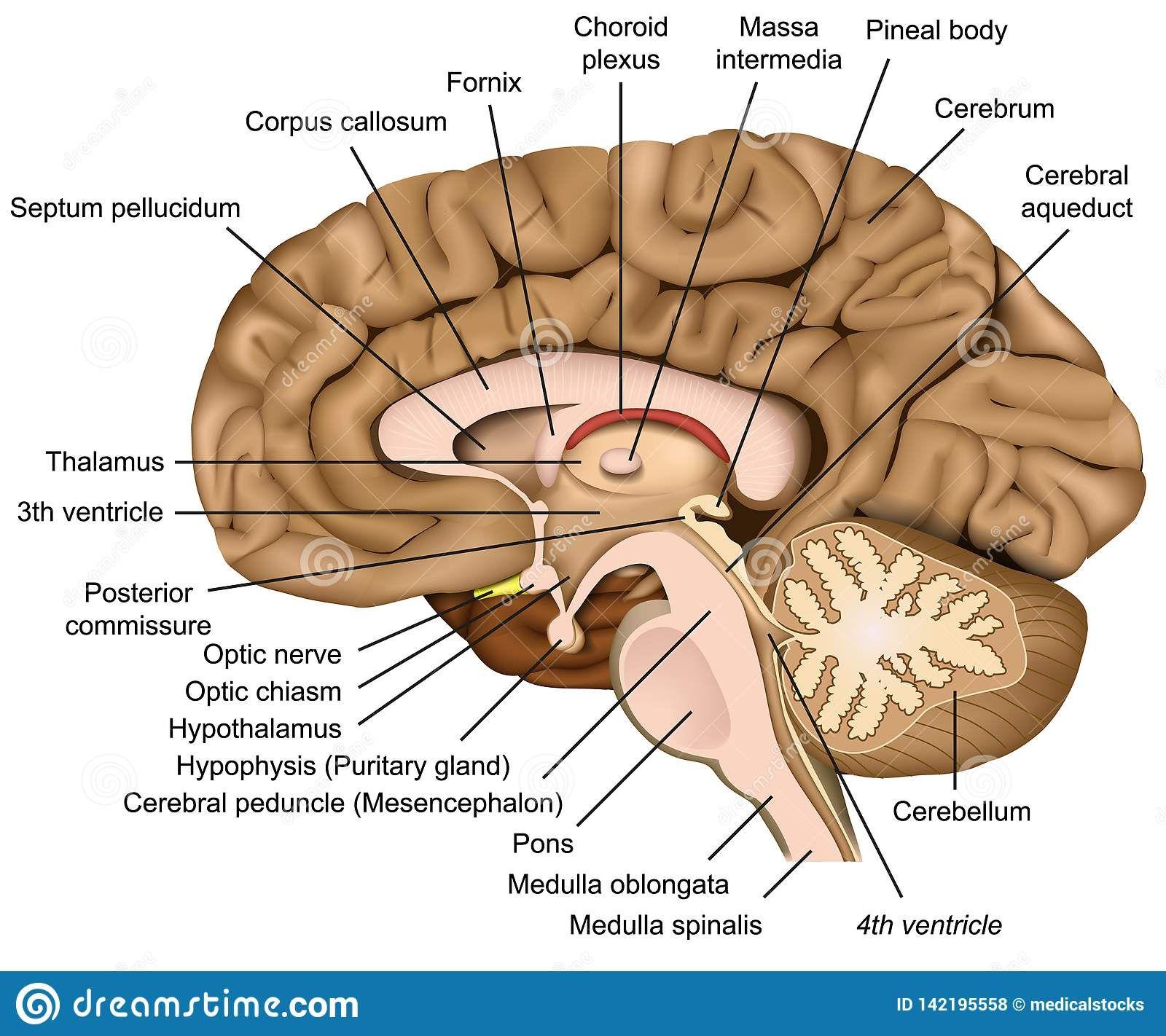 Pin by Alade Isaiah on Human brain anatomy | Brain anatomy ...