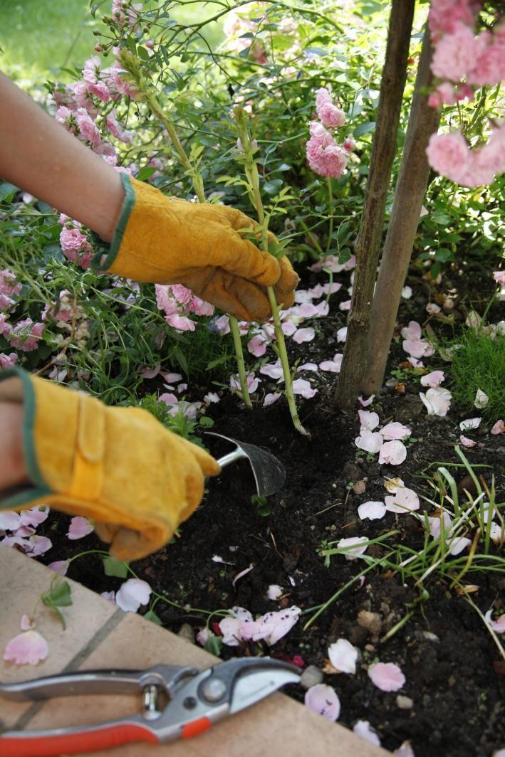 Beautiful Rosen Wildtriebe richtig entfernen