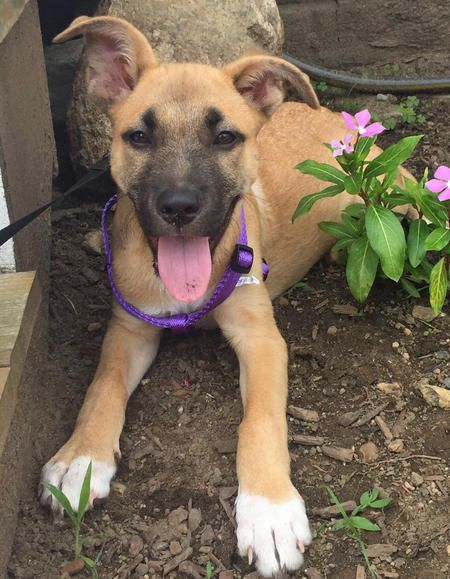 Lucy The Mixed Breed Shepherd Boxer Hound Cute Puppy Names