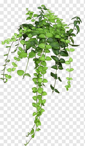 Vine Liana Tropical Rainforest Graphy Plants Grape Plant Planting Bulbs
