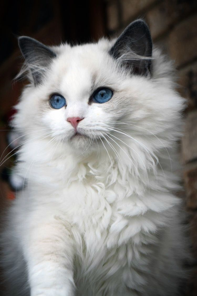 Beautiful White Kitten With Blue Eyes Pretty Cats Kittens Cutest Cute Cats And Kittens