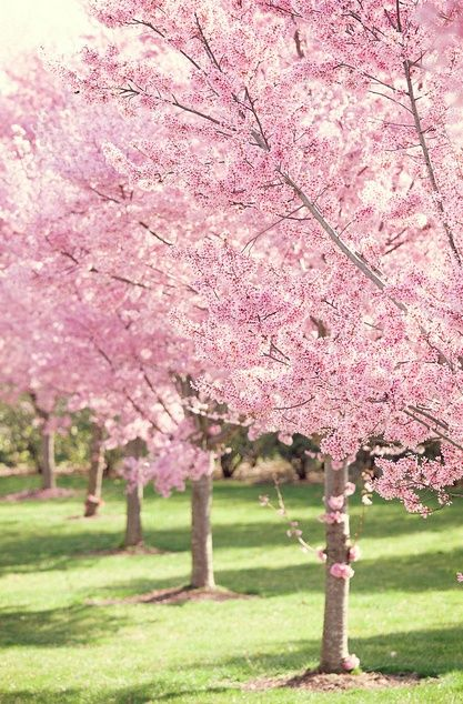 Pretty Cherry Blossom Background Pink Tree Spring Blossoms