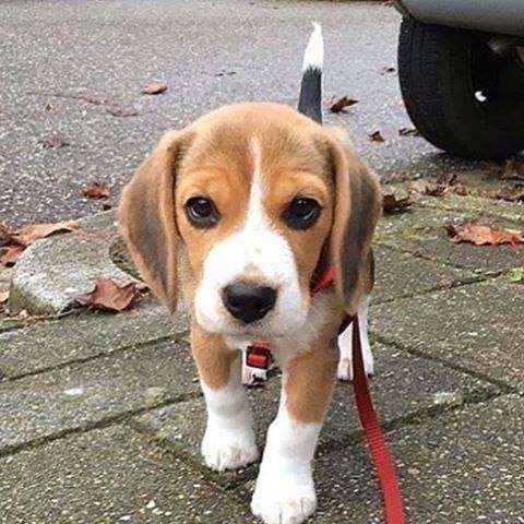 Pin By Ankita Duraphe On Dogs Beagle Puppy Cute Beagles Baby