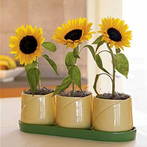Sunflower Growing Kit Potted Sunflowers Dwarf Sunflowers Flower Seeds