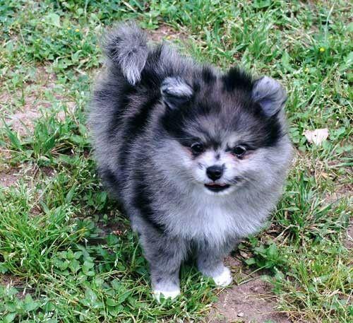 .blue merle pomeranian Cute puppies, Cute animals