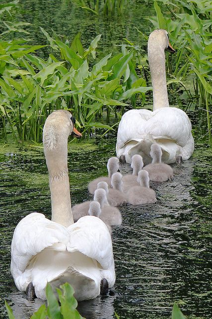 <3 the beautiful spring swan family