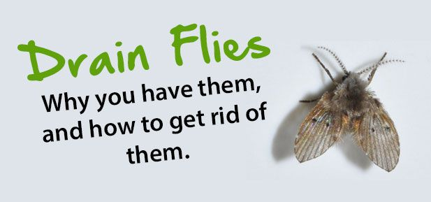drain flies why you have them and