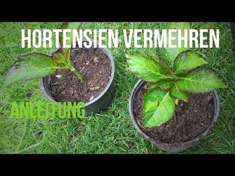 ► Hortensien mit Stecklingen vermehren #hortensienvermehren
