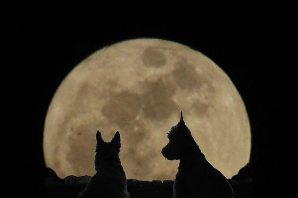 Scottish Terriers by the light of the super moon