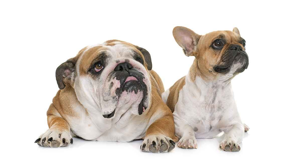 French Bulldog Vs English Bulldog Which Pet Is Right For You