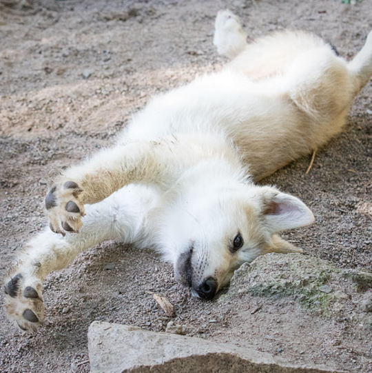 Wolf pup at the International Wolf Center by Heidi Pinkerton