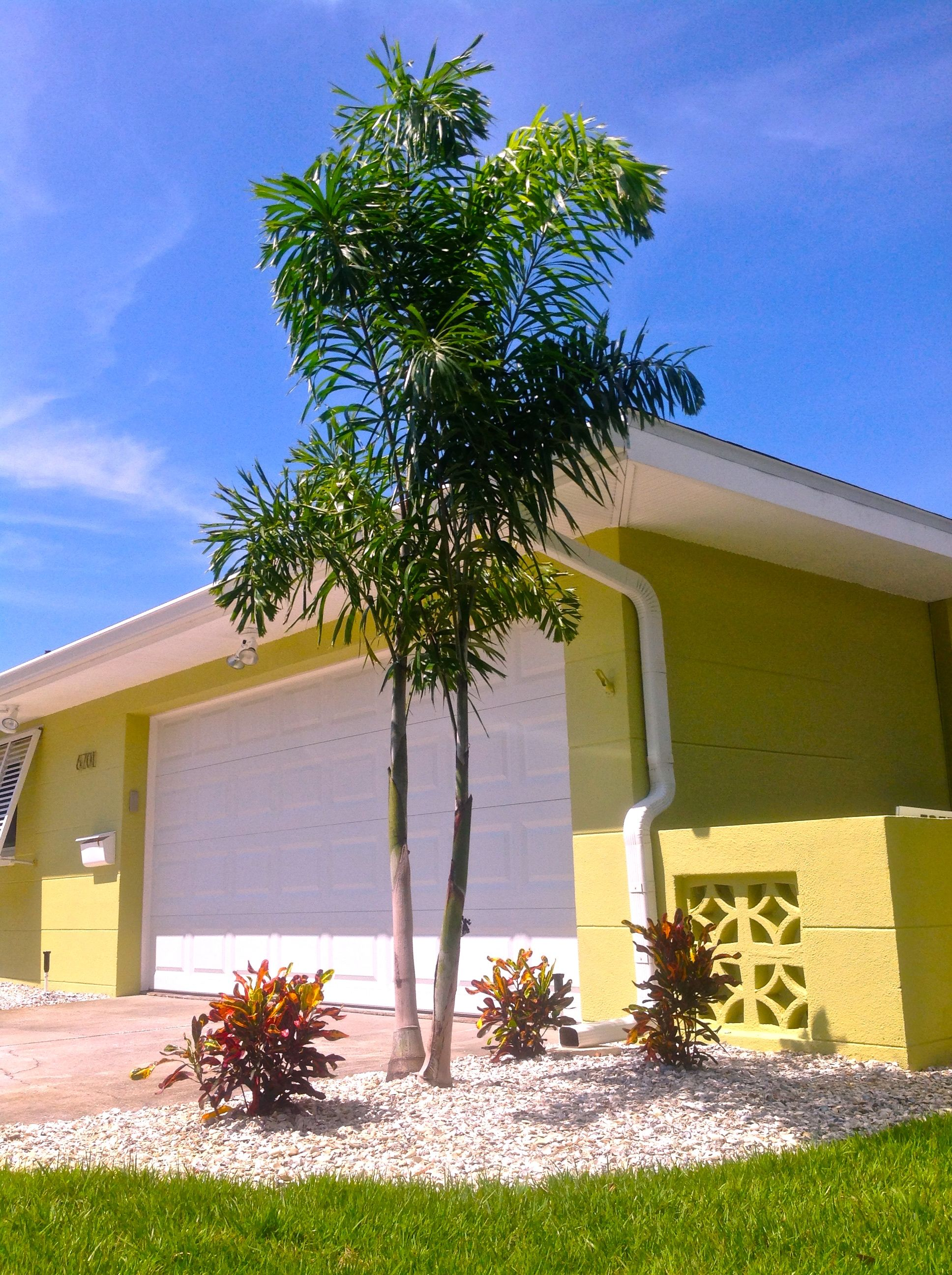 Front Entry Landscape Double Fox Palm Trees With Crotons Under Canopy Shell Mulch Completes