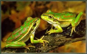 Green and Gold Bell Frogs..