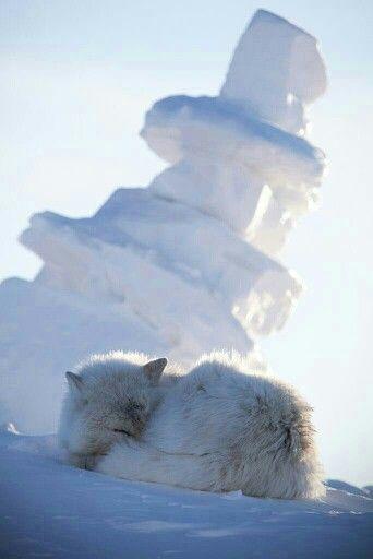 Épinglé par Marie Decaux sur Wolfs,loups. | Loup gris