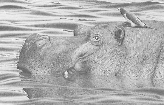 Hippo In Water Drawing