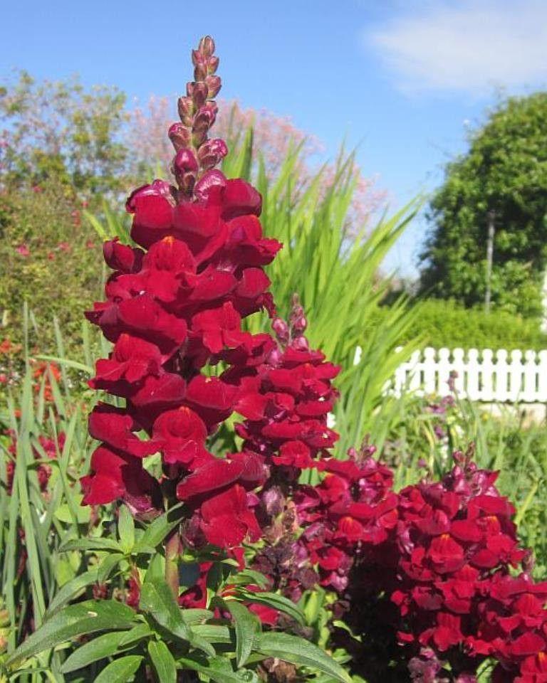Snapdragon (Antirrhinum Majus Maximum ) Red Perennial