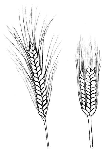 Barley Plant Drawing