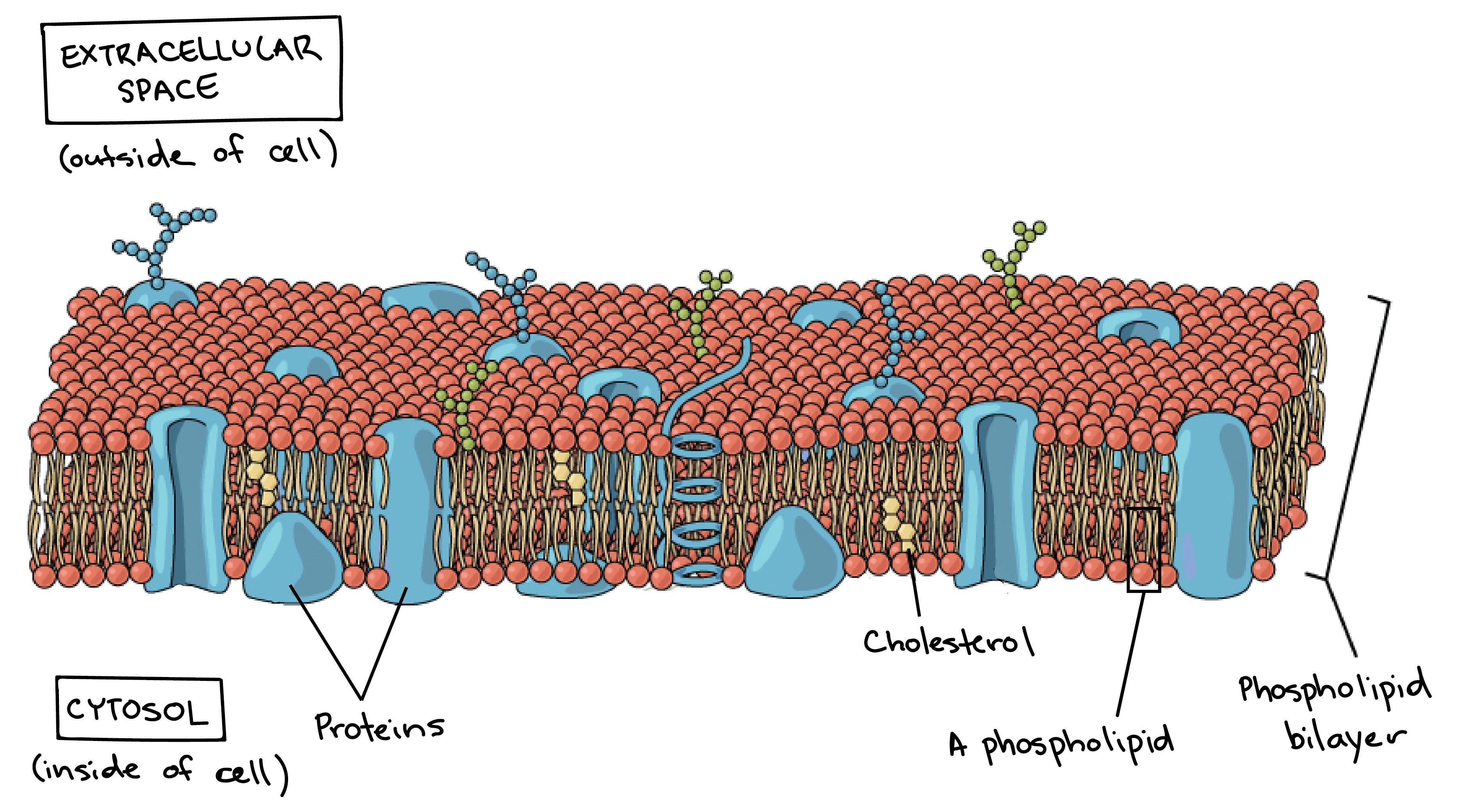 Khan Academy Plasma Membrane Biology Diagrams Membrane