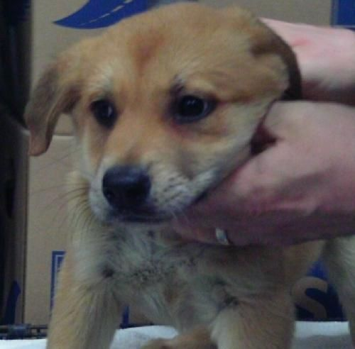 Meet Gunther A Rottweiler Great Pyrenees Mix Puppy Searching For