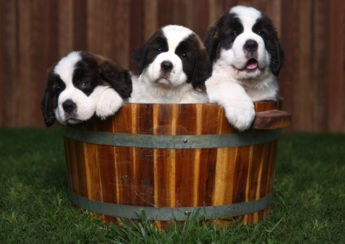 Lost Coast Kennel Club July 2012 With Images St Bernard Puppy