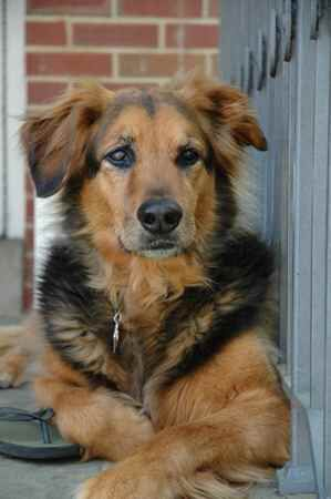 Golden Shepard Golden Retriever German Shepard Mix Golden