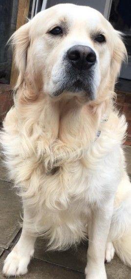 Kc Reg Golden Retriever Puppies Maidstone Kent Pets4homes