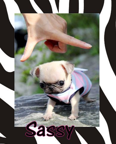 want to see pictures of a tea cup pug and chuahaha | Teacup Pug | Flickr - Photo Sharing!