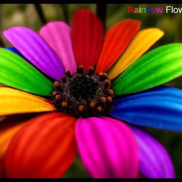 Pin By Melody On Flowers Make Me Happy Rainbow Flowers