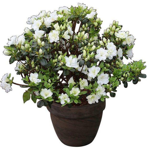 Rhododendron Japanische Azalee Schneeperle Pflanzen Azaleen Und Diy Gartenbau