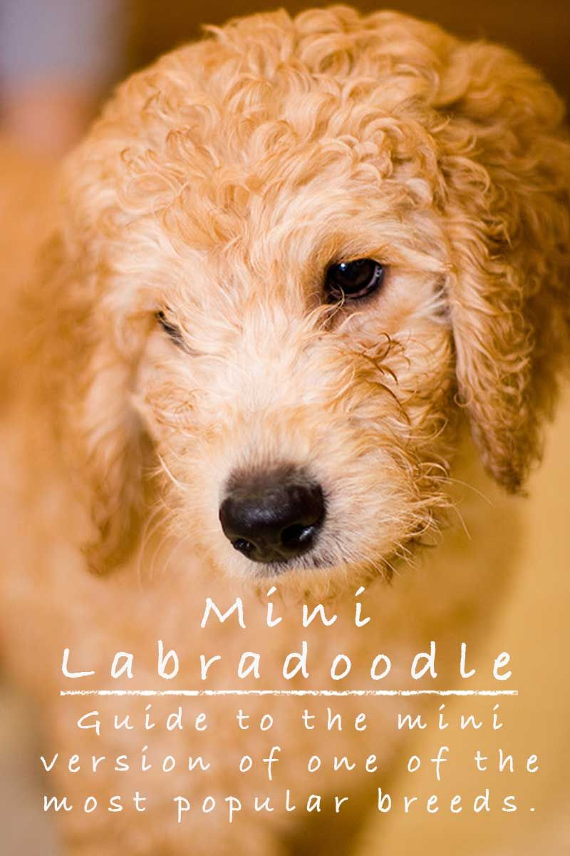 Mini Labradoodle The Miniature Or Toy Poodle Labrador Retriever