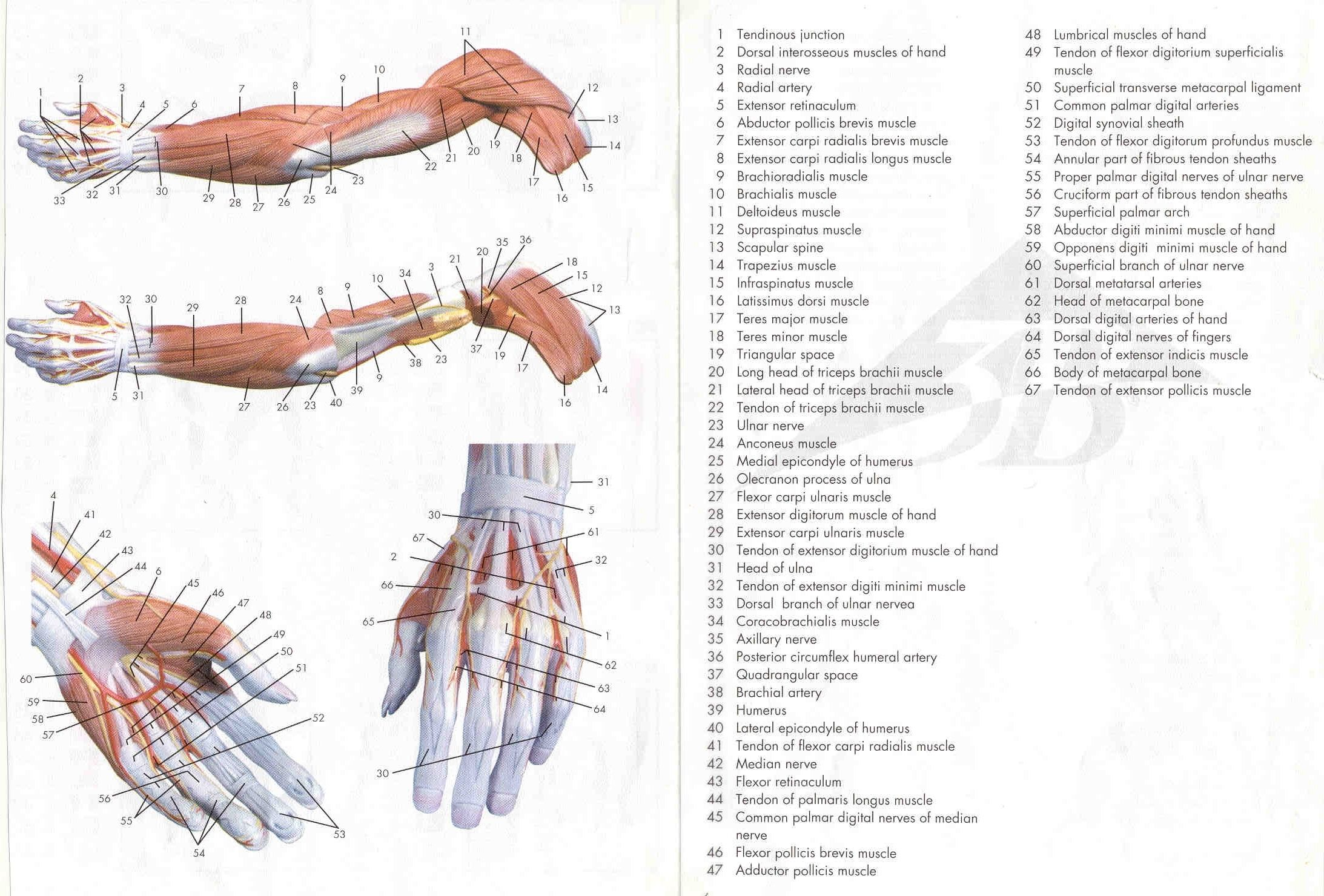 Human upper limb and hand muscle tendon anatomy in detail - Anatomy ...