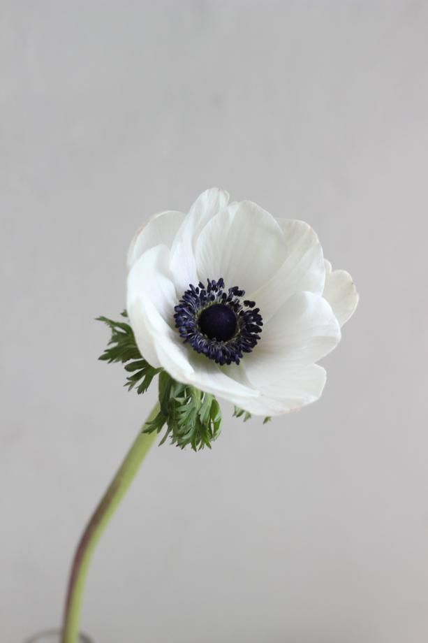 I Ll Take One In Every Colour Anenome Flower Trendy Flowers Anemone